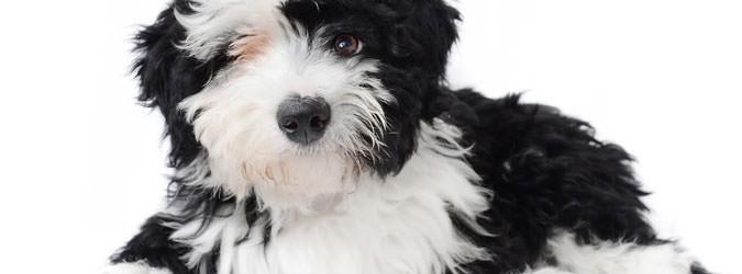 Safari Doodles - Dog Breeders