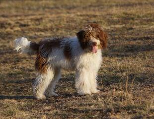 Deer Creek Bordoodles - Dog Breeders