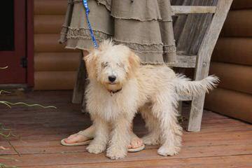 Bucket Puppy Bordoodles - Dog Breeders