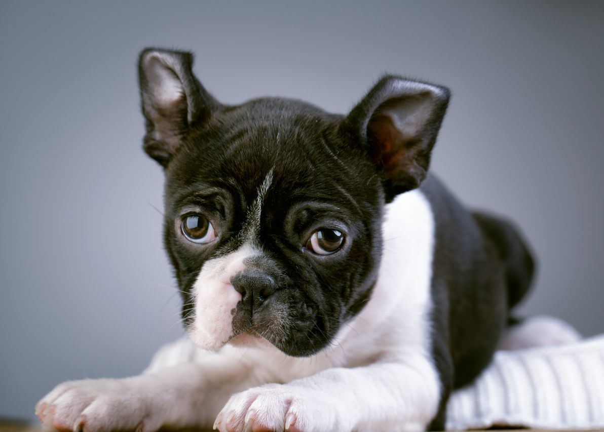 Boston Terrier Dogs and Puppies