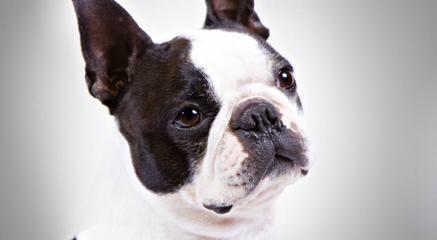 Boston Terrier Puppy For Sale - Dog Breeders