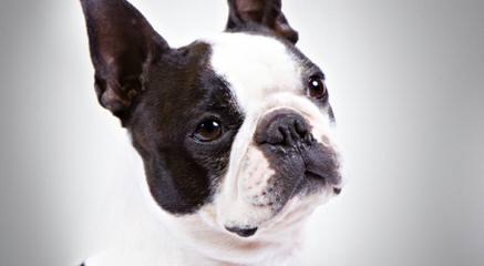 Firehouse Bostons - Dog Breeders
