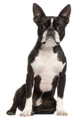 K Bostons - Dog Breeders