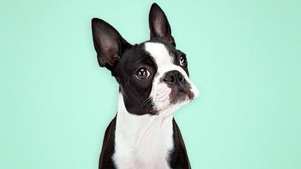 Amazing Grace Terriers Has Pups! - Dog Breeders
