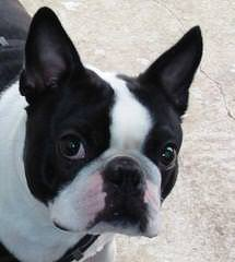 Bouncy Boston Terriers - Dog and Puppy Pictures