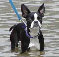 Reed's Boston Terriers - Dog and Puppy Pictures