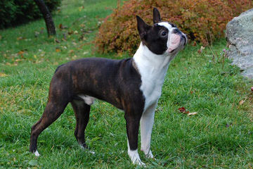 Akc Champion Sired Puppies - Dog Breeders