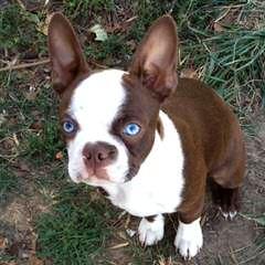 kats boston terriers - Dog Breeders