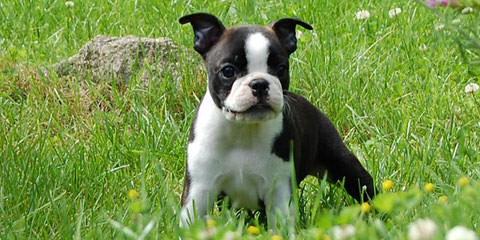 Breeders Of Boston Terrier Puppies - Dog Breeders
