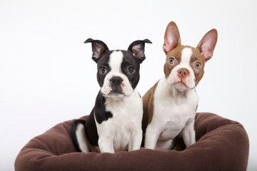 Good Time Bostonetts - Dog Breeders