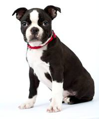 Male To Stud - Dog Breeders