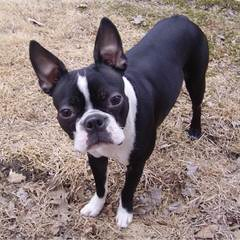 We Have Have A Litter Of Boston Terriers - Dog and Puppy Pictures