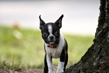 Shade of Bark Kennel - Dog Breeders