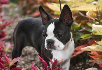 Dustin Ryan's Bostons - Dog Breeders
