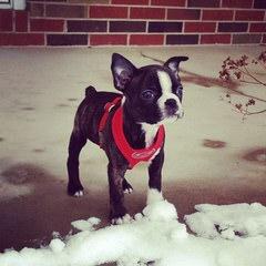 Boston Puppies - Dog Breeders