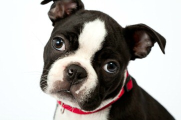 Akc Purebred Boston Terriers Champion Lines - Dog Breeders