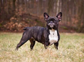 Boston Terriers Soon Available - Dog Breeders