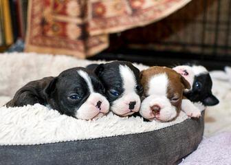 Akc Registered Boston Terrier For Stud - Dog Breeders