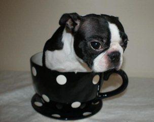 Shade Of Bark Bostons - Dog Breeders