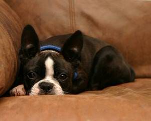 Akc Boston Terrier Puppies - Dog and Puppy Pictures