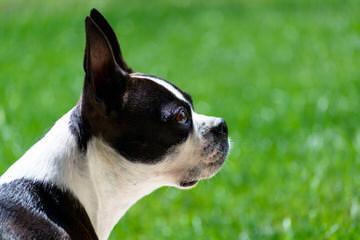 Boston Terrier Puppies Due Soon - Dog Breeders