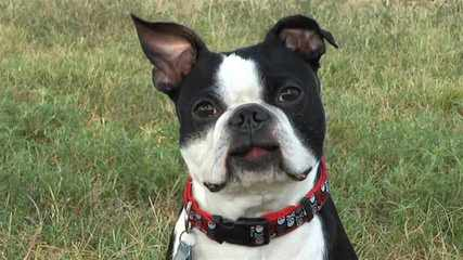 Boston Terrier Puppies Akc - Dog Breeders