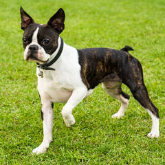 kats boston terriers - Dog Breeders