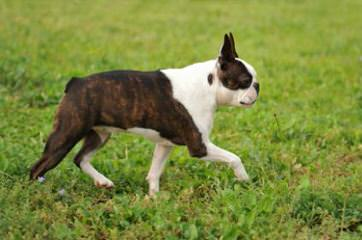 Boston Terrier & Chihuahuas - Dog and Puppy Pictures