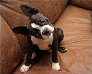 "Hillbilly Boston Terriers ""Proudly made in USA"" - Dog Breeders"