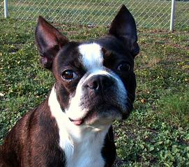 Ckc Registered Boston Terrier Stud Service - Dog Breeders