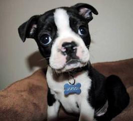 Boston Terrier Puppy For Sale - Dog Breeders