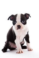 Arcadian Dream Kennel - Dog Breeders