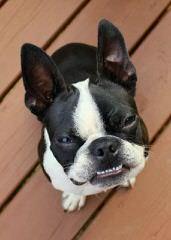 Sturbridge Farm-Champion Sired And Pet Quality - Dog Breeders