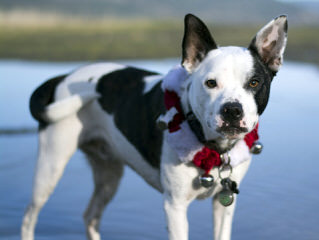 We Have Have A Litter Of Boston Terriers - Dog Breeders