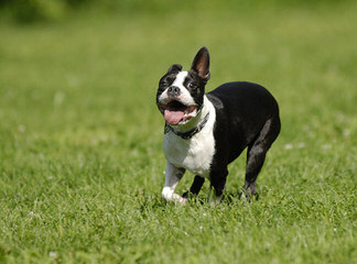 Akc Purebred Boston Terriers Champion Lines - Dog Breeders