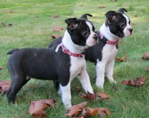 Pittsburgh Boston Babies - Dog Breeders