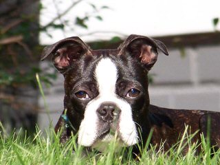House of Hepley Boston Terriers - Dog and Puppy Pictures