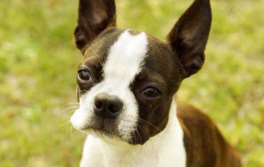 Ckc Registered Boston Terrier Stud Service - Dog Breeders