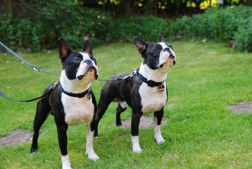 Boston Terrier Puppies Akc - Dog Breeders