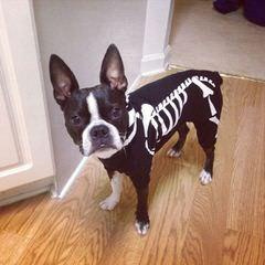 Boston Terrier-Purebread Juvenile - Dog Breeders