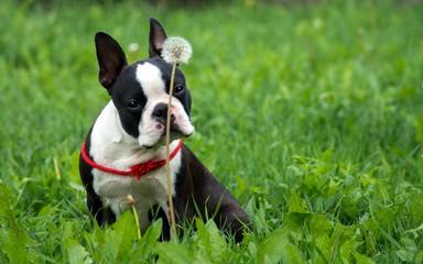 Jr Bostons - Dog Breeders