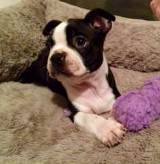 Akc Boston Terriers Now Available - Dog and Puppy Pictures