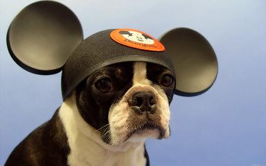 Rhondanas Boston Terriers - Dog Breeders