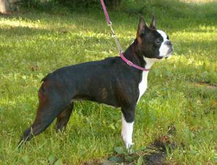 Quality Boston Terriers & Pups Will Travel - Dog and Puppy Pictures