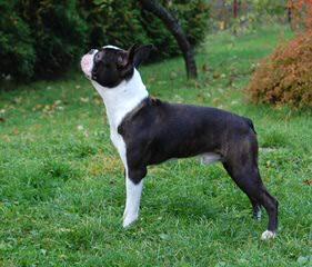 Bouncy Boston Terriers - Dog Breeders