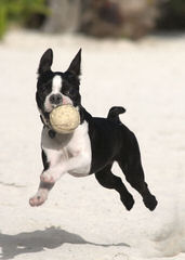 """Hillbilly Boston Terriers """"Proudly made in USA"""" - Dog Breeders"""