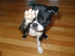 BLACKFOOT BOSTONS - Dog Breeders