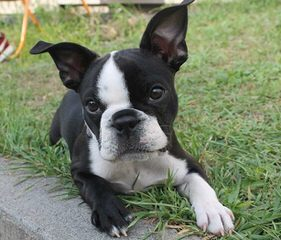 House of Hepley Boston Terriers - Dog Breeders