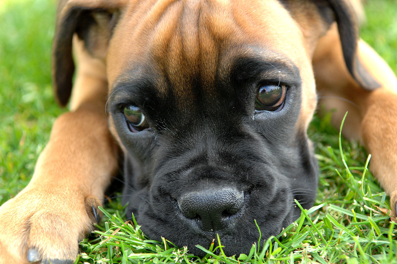 Boxer Dogs and Puppies
