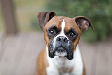 Kloud 9 Boxers and Pugs - Dog Breeders